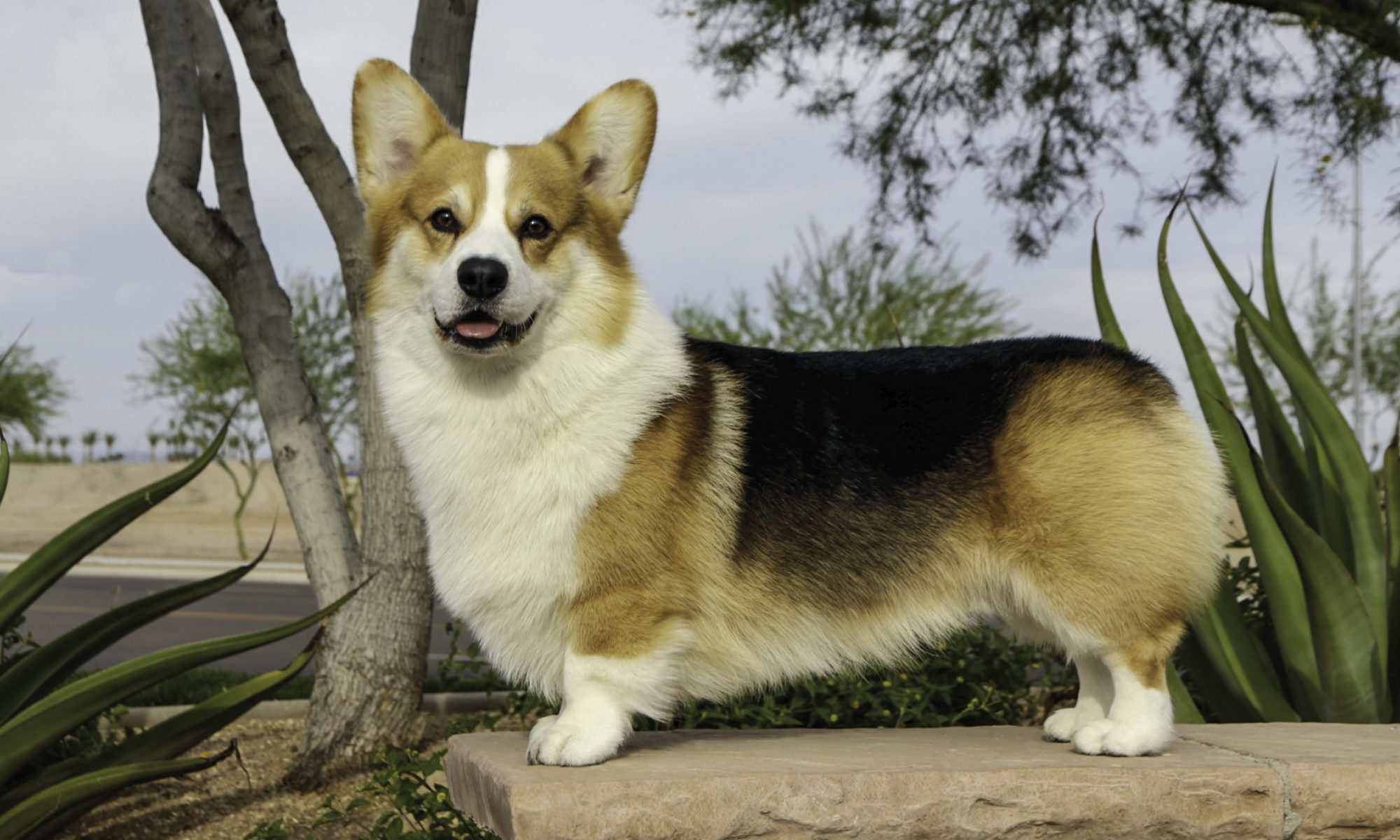 The Smiling Corgi